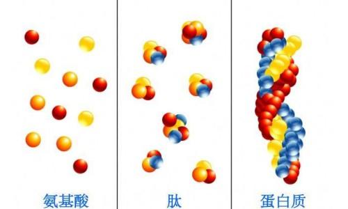 吸收率高达90%,Klarity小蜡笔胶原蛋白肽如何做到?